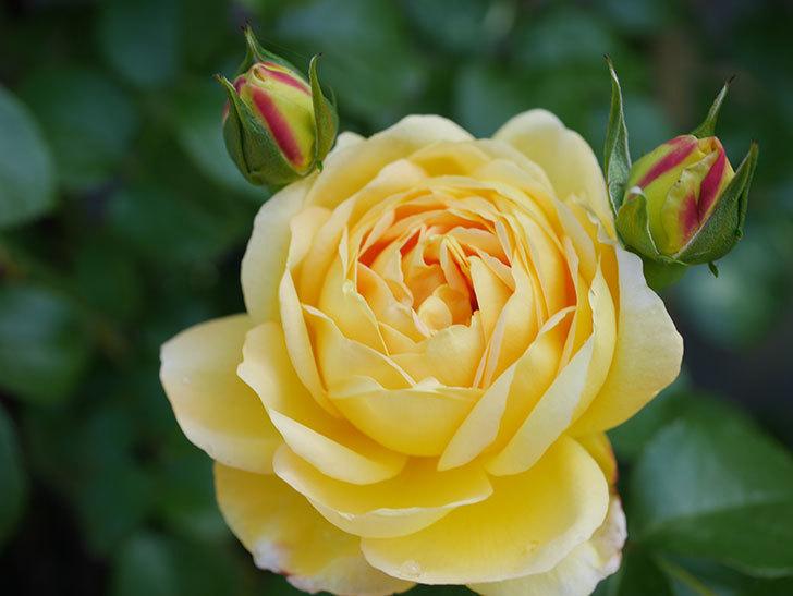 シャトー・ドゥ・シュベルニー(Chateau de Cheverny)の花が咲いた。半ツルバラ。2021年-019.jpg