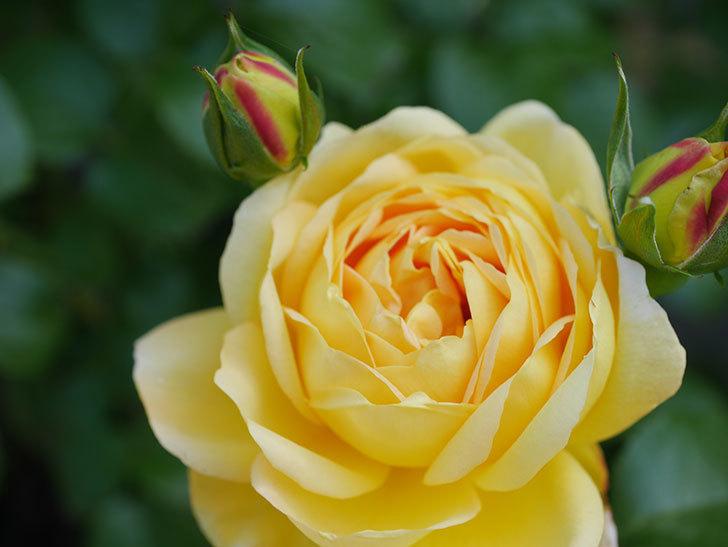 シャトー・ドゥ・シュベルニー(Chateau de Cheverny)の花が咲いた。半ツルバラ。2021年-020.jpg