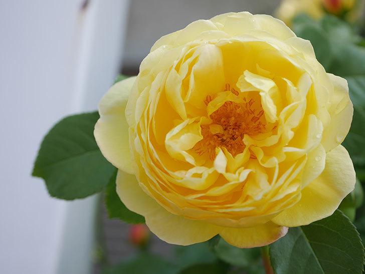 シャトー・ドゥ・シュベルニー(Chateau de Cheverny)の花が咲いた。半ツルバラ。2021年-021.jpg
