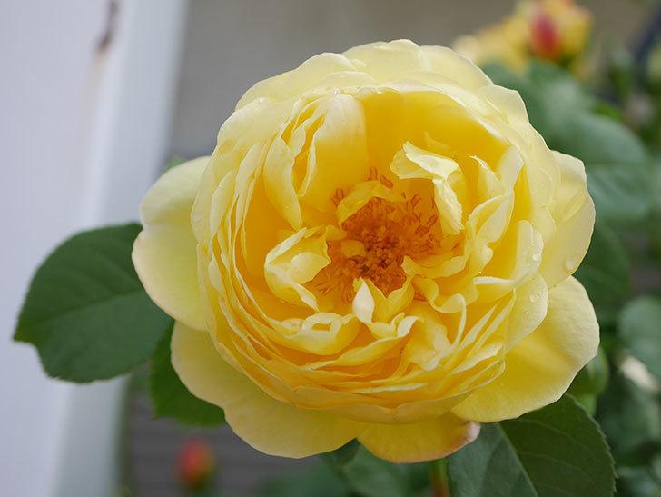 シャトー・ドゥ・シュベルニー(Chateau de Cheverny)の花が咲いた。半ツルバラ。2021年-022.jpg