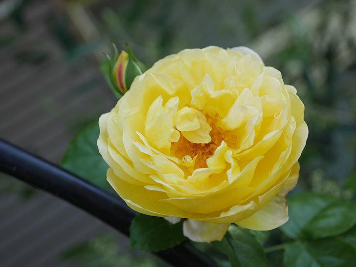 シャトー・ドゥ・シュベルニー(Chateau de Cheverny)の花が咲いた。半ツルバラ。2021年-023.jpg