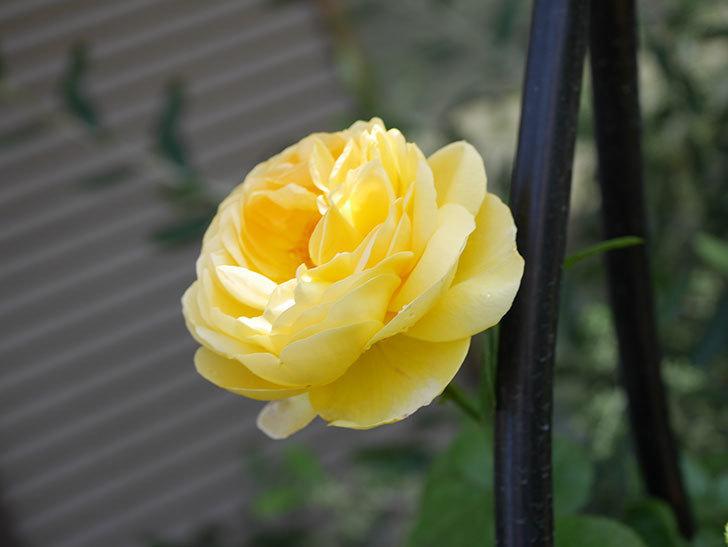 シャトー・ドゥ・シュベルニー(Chateau de Cheverny)の花が咲いた。半ツルバラ。2021年-024.jpg