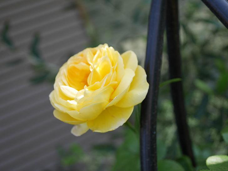 シャトー・ドゥ・シュベルニー(Chateau de Cheverny)の花が咲いた。半ツルバラ。2021年-025.jpg