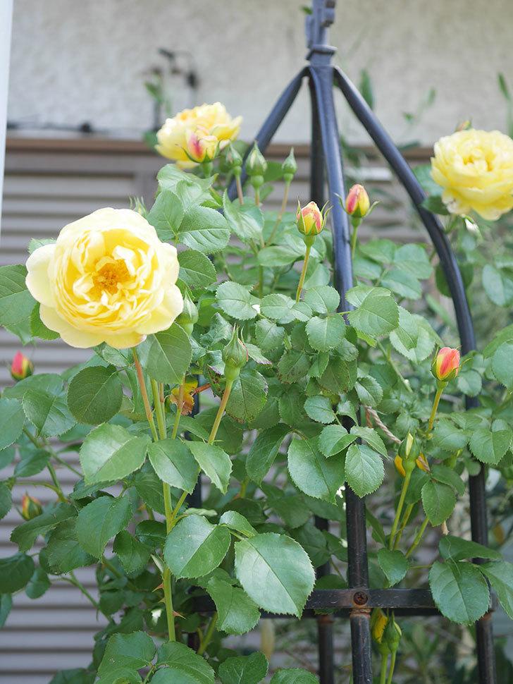 シャトー・ドゥ・シュベルニー(Chateau de Cheverny)の花が咲いた。半ツルバラ。2021年-026.jpg