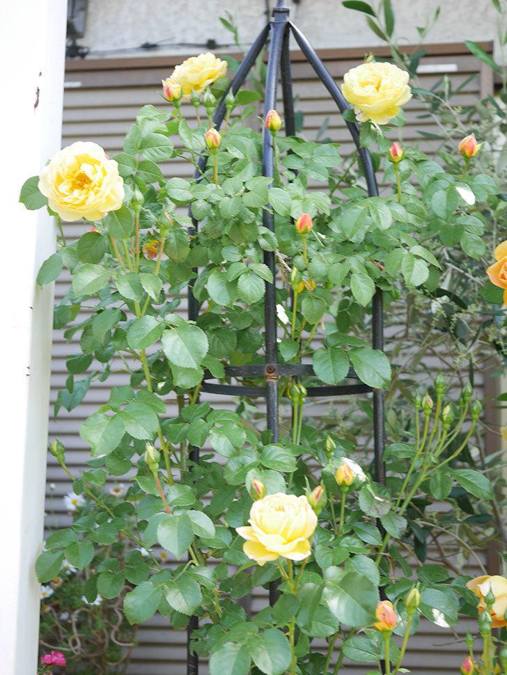 シャトー・ドゥ・シュベルニー(Chateau de Cheverny)の花が咲いた。半ツルバラ。2021年-027.jpg