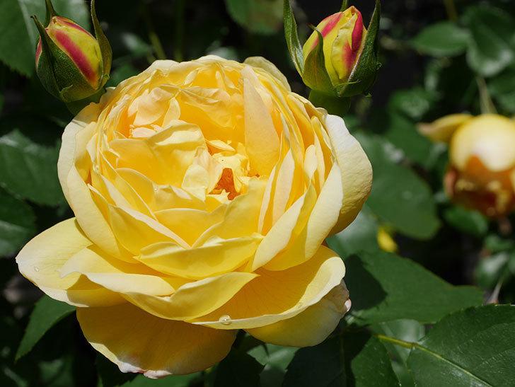 シャトー・ドゥ・シュベルニー(Chateau de Cheverny)の花が咲いた。半ツルバラ。2021年-029.jpg
