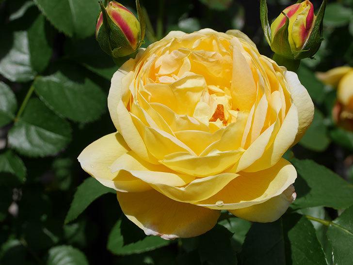 シャトー・ドゥ・シュベルニー(Chateau de Cheverny)の花が咲いた。半ツルバラ。2021年-030.jpg