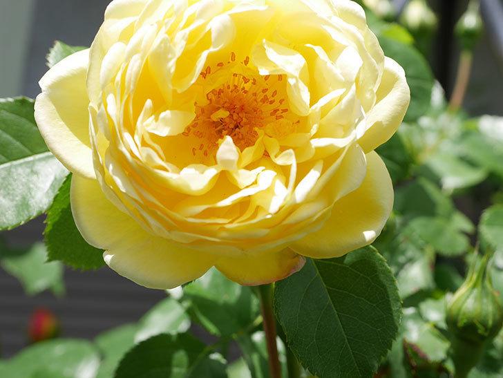 シャトー・ドゥ・シュベルニー(Chateau de Cheverny)の花が咲いた。半ツルバラ。2021年-031.jpg