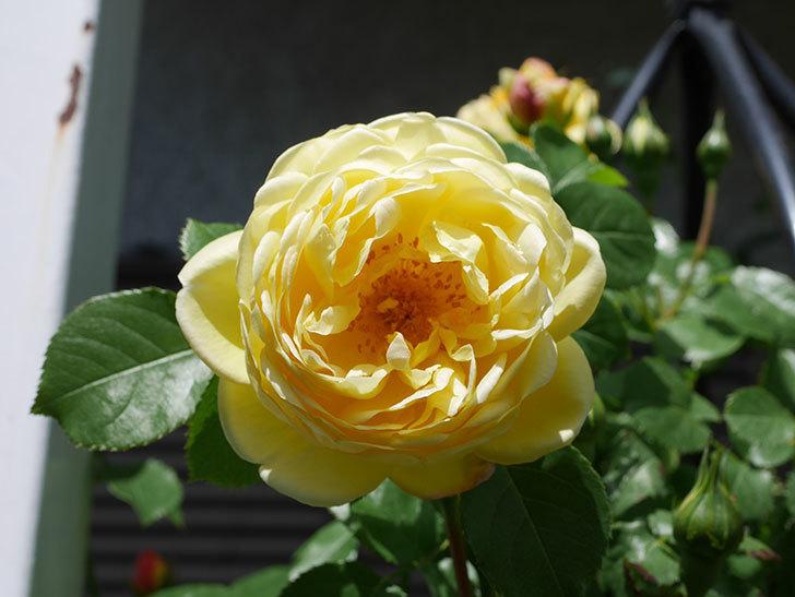 シャトー・ドゥ・シュベルニー(Chateau de Cheverny)の花が咲いた。半ツルバラ。2021年-032.jpg