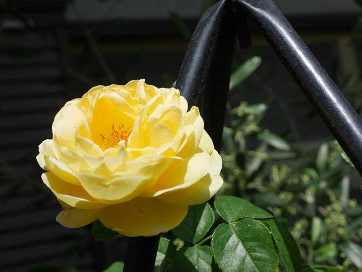 シャトー・ドゥ・シュベルニー(Chateau de Cheverny)の花が咲いた。半ツルバラ。2021年-033.jpg
