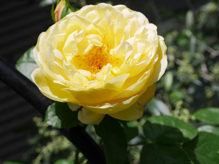 シャトー・ドゥ・シュベルニー(Chateau de Cheverny)の花が咲いた。半ツルバラ。2021年-034.jpg