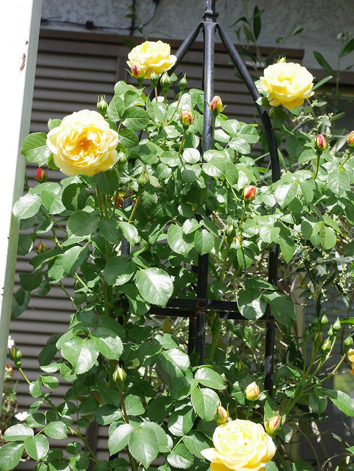 シャトー・ドゥ・シュベルニー(Chateau de Cheverny)の花が咲いた。半ツルバラ。2021年-035.jpg