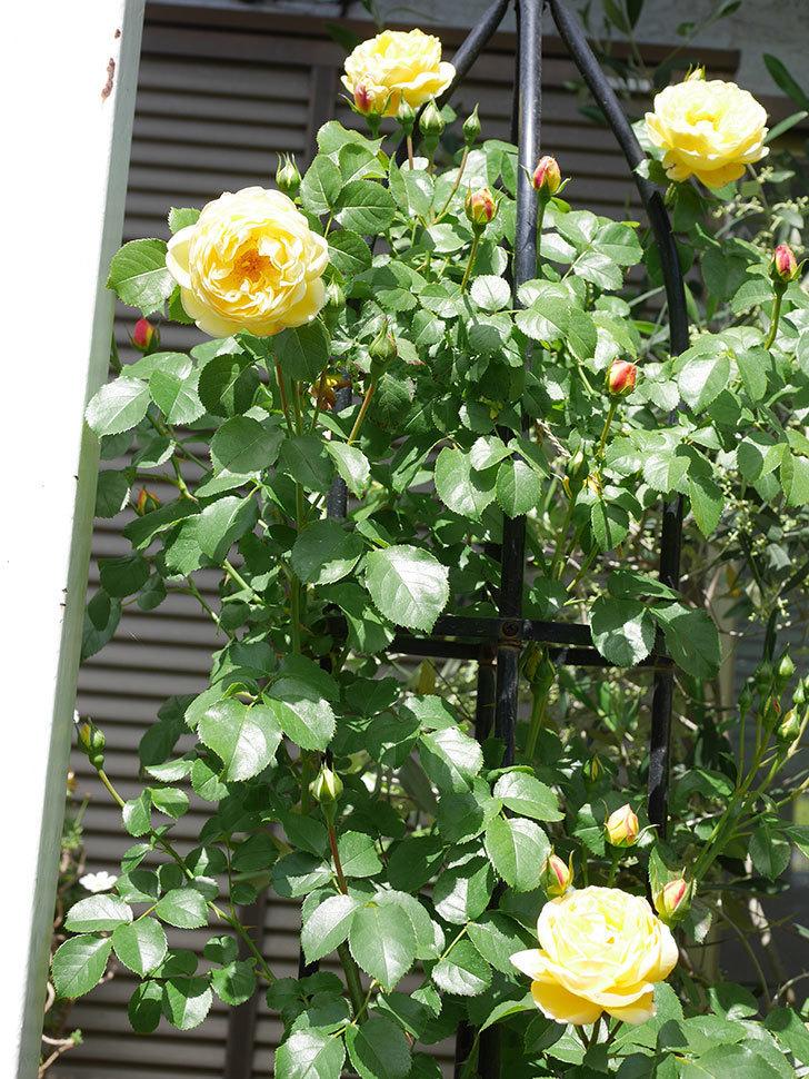 シャトー・ドゥ・シュベルニー(Chateau de Cheverny)の花が咲いた。半ツルバラ。2021年-036.jpg