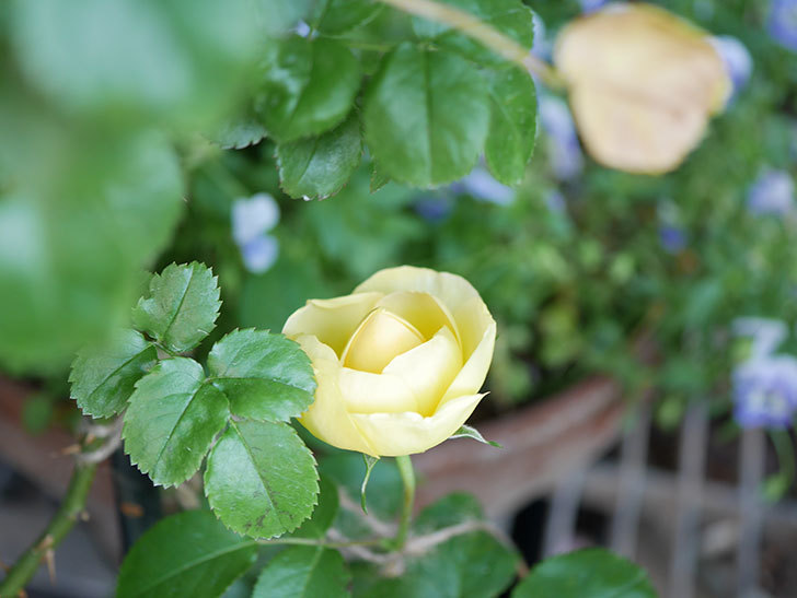 シャトー・ドゥ・シュベルニー(Chateau de Cheverny)の花が少し咲いた。半ツルバラ。2021年-002.jpg