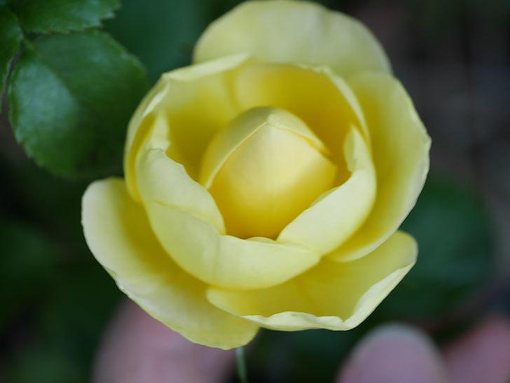 シャトー・ドゥ・シュベルニー(Chateau de Cheverny)の花が少し咲いた。半ツルバラ。2021年-004.jpg