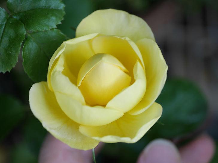 シャトー・ドゥ・シュベルニー(Chateau de Cheverny)の花が少し咲いた。半ツルバラ。2021年-005.jpg