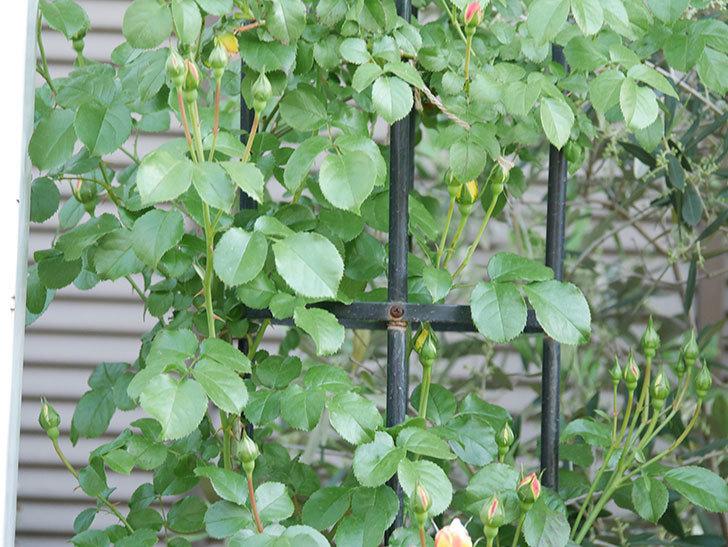 シャトー・ドゥ・シュベルニー(Chateau de Cheverny)の花が少し咲いた。半ツルバラ。2021年-010.jpg