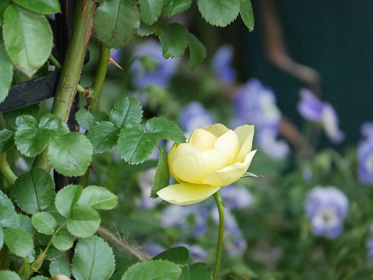 シャトー・ドゥ・シュベルニー(Chateau de Cheverny)の花が少し咲いた。半ツルバラ。2021年-011.jpg