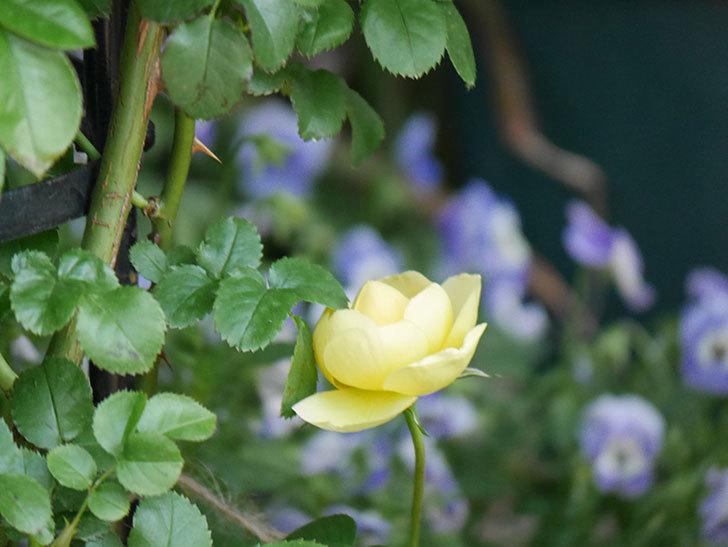 シャトー・ドゥ・シュベルニー(Chateau de Cheverny)の花が少し咲いた。半ツルバラ。2021年-012.jpg