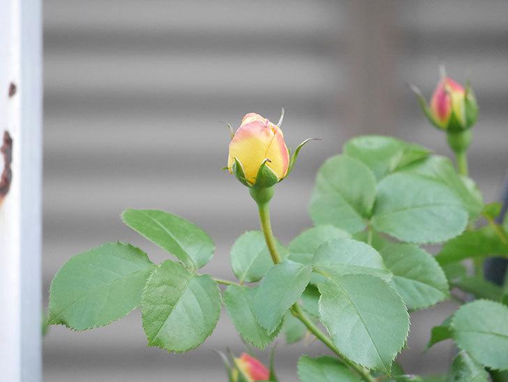 シャトー・ドゥ・シュベルニー(Chateau de Cheverny)の花が少し咲いた。半ツルバラ。2021年-015.jpg