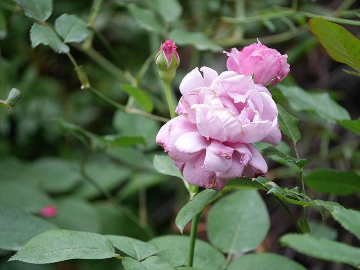 シャルルドゴール(Charles de Gaulle)の2番花がまた咲いた。木立バラ。2020年-002.jpg