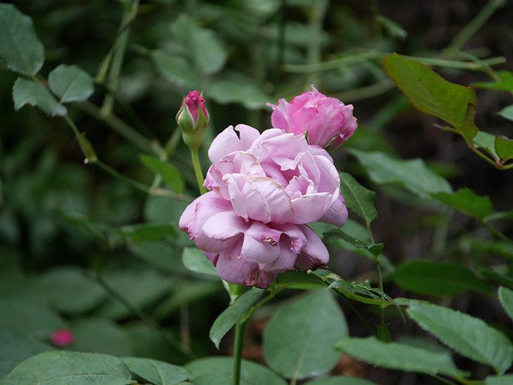 シャルルドゴール(Charles de Gaulle)の2番花がまた咲いた。木立バラ。2020年-003.jpg