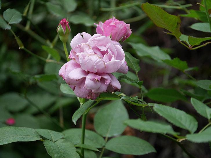 シャルルドゴール(Charles de Gaulle)の2番花がまた咲いた。木立バラ。2020年-004.jpg