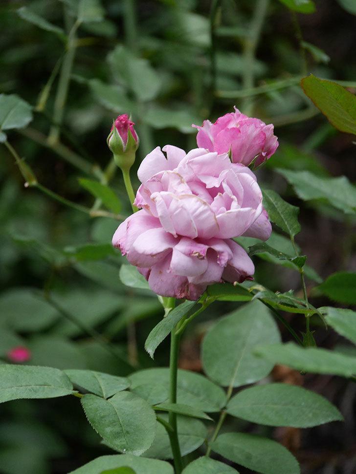 シャルルドゴール(Charles de Gaulle)の2番花がまた咲いた。木立バラ。2020年-005.jpg