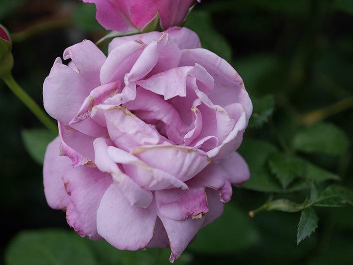シャルルドゴール(Charles de Gaulle)の2番花がまた咲いた。木立バラ。2020年-006.jpg