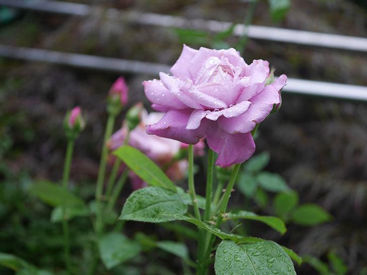 シャルルドゴール(Charles de Gaulle)の2番花がまた咲いた。木立バラ。2020年-008.jpg