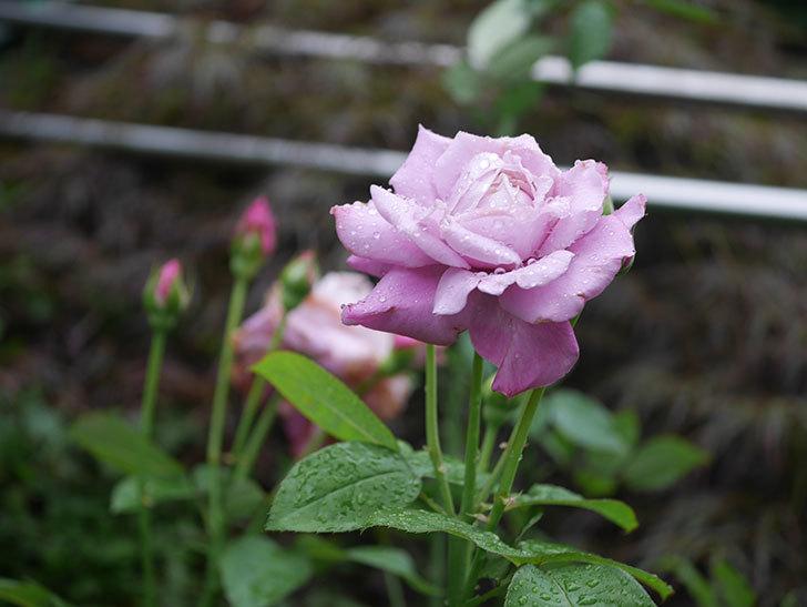 シャルルドゴール(Charles de Gaulle)の2番花がまた咲いた。木立バラ。2020年-009.jpg