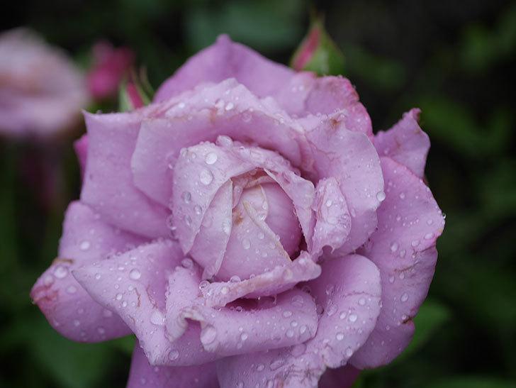 シャルルドゴール(Charles de Gaulle)の2番花がまた咲いた。木立バラ。2020年-010.jpg
