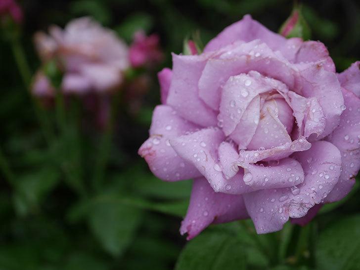 シャルルドゴール(Charles de Gaulle)の2番花がまた咲いた。木立バラ。2020年-011.jpg