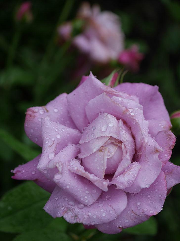 シャルルドゴール(Charles de Gaulle)の2番花がまた咲いた。木立バラ。2020年-012.jpg