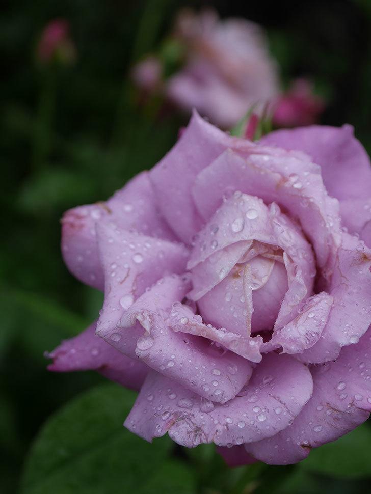 シャルルドゴール(Charles de Gaulle)の2番花がまた咲いた。木立バラ。2020年-013.jpg