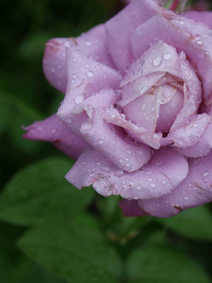 シャルルドゴール(Charles de Gaulle)の2番花がまた咲いた。木立バラ。2020年-014.jpg