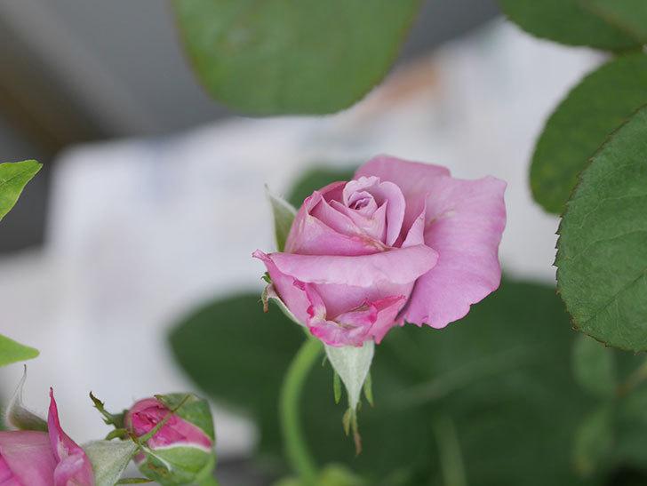 シャルルドゴール(Charles de Gaulle)の2番花が咲いた。木立バラ。2020年-001.jpg