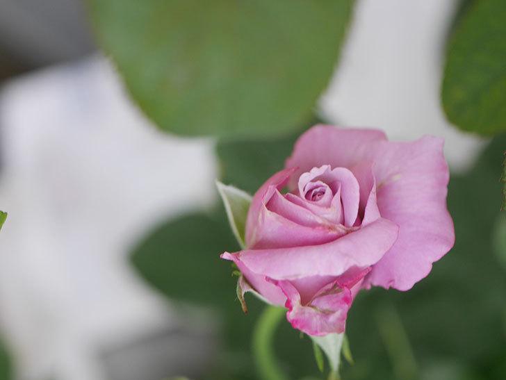 シャルルドゴール(Charles de Gaulle)の2番花が咲いた。木立バラ。2020年-002.jpg