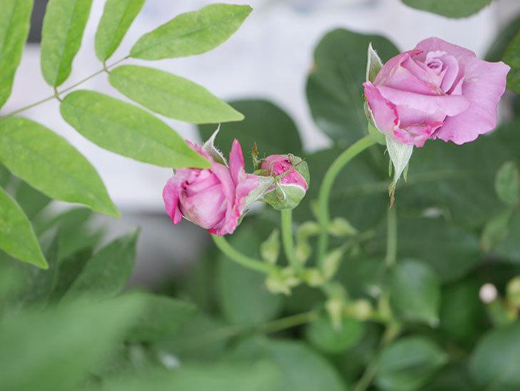 シャルルドゴール(Charles de Gaulle)の2番花が咲いた。木立バラ。2020年-003.jpg