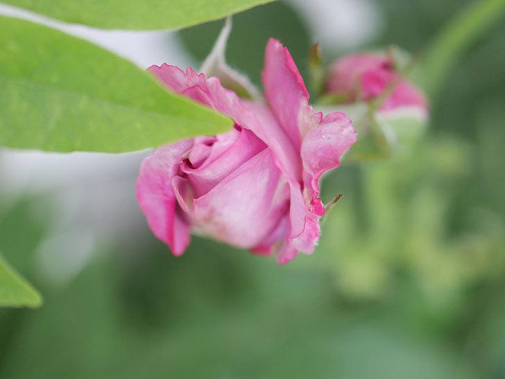 シャルルドゴール(Charles de Gaulle)の2番花が咲いた。木立バラ。2020年-004.jpg