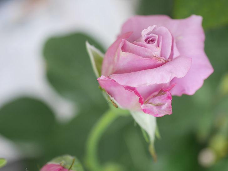 シャルルドゴール(Charles de Gaulle)の2番花が咲いた。木立バラ。2020年-006.jpg