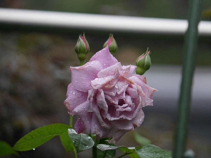 シャルルドゴール(Charles de Gaulle)の2番花が増えてきた。木立バラ。2020年-003.jpg