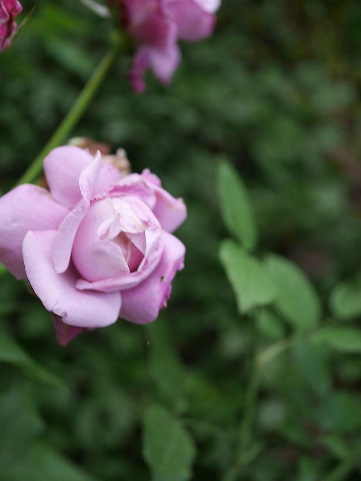 シャルルドゴール(Charles de Gaulle)の2番花が増えてきた。木立バラ。2020年-005.jpg