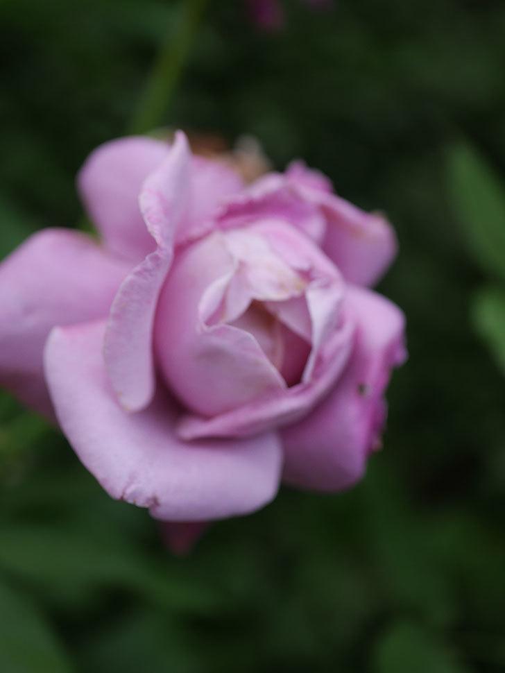 シャルルドゴール(Charles de Gaulle)の2番花が増えてきた。木立バラ。2020年-006.jpg