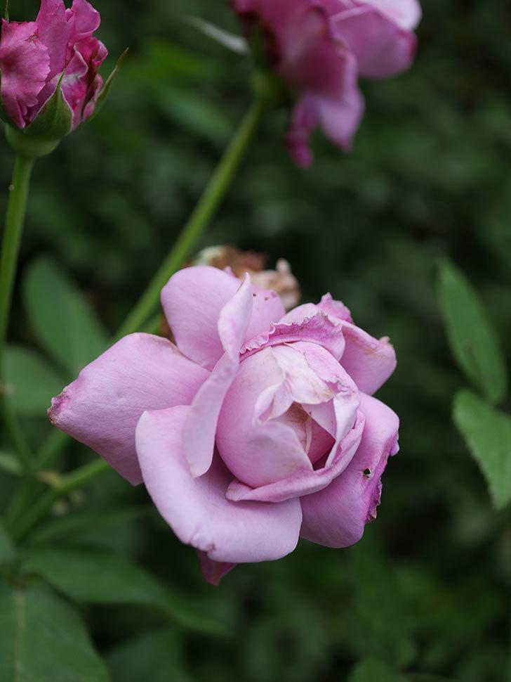 シャルルドゴール(Charles de Gaulle)の2番花が増えてきた。木立バラ。2020年-007.jpg