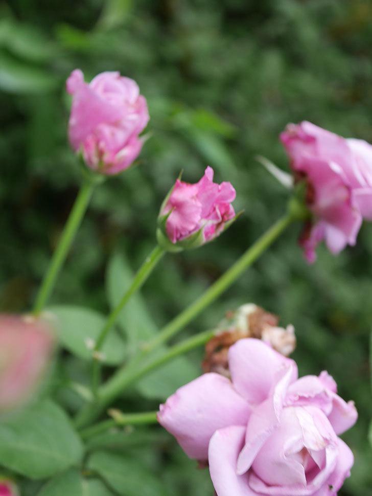 シャルルドゴール(Charles de Gaulle)の2番花が増えてきた。木立バラ。2020年-008.jpg