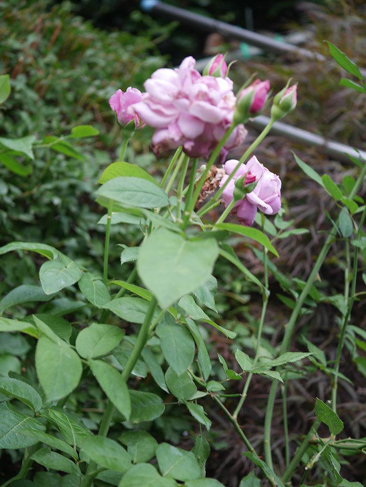 シャルルドゴール(Charles de Gaulle)の2番花が増えてきた。木立バラ。2020年-009.jpg
