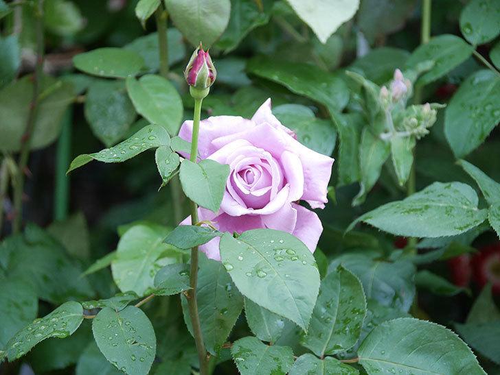 シャルルドゴール(Charles de Gaulle)の花が咲いた。木立バラ。2021年-001.jpg