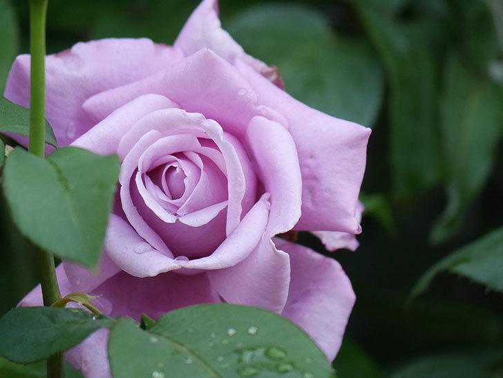 シャルルドゴール(Charles de Gaulle)の花が咲いた。木立バラ。2021年-003.jpg