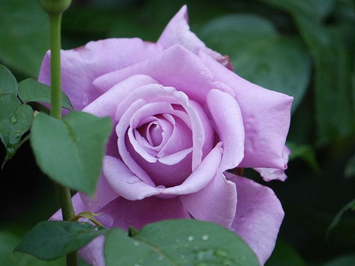 シャルルドゴール(Charles de Gaulle)の花が咲いた。木立バラ。2021年-005.jpg